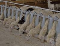 Autocatture per ovini e caprini for Autocatture per capre